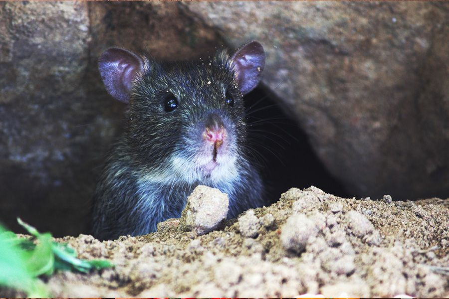 how to prevent  rat fever